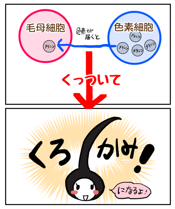 毛母細胞と色素細胞二つが結びつく事で黒髪になる説明イラスト